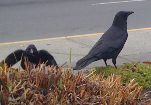 Two crows eating: Sherwin
