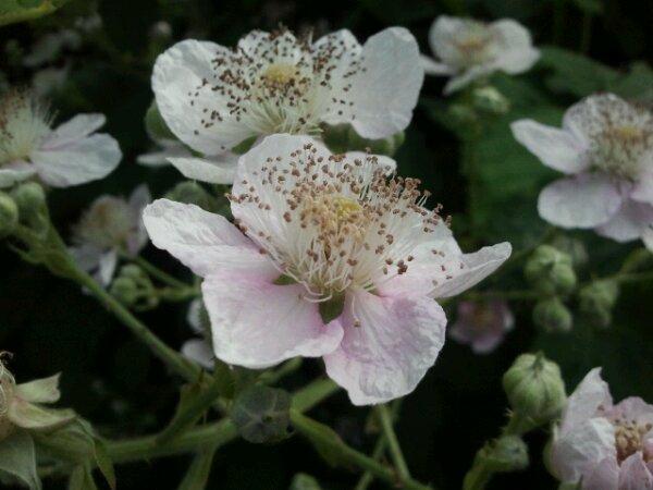 blackberry flower is white