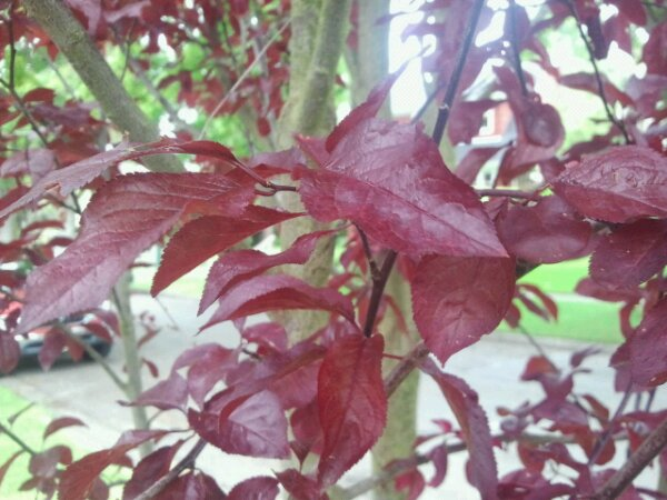 Prunus Cerasifera Purple Haze