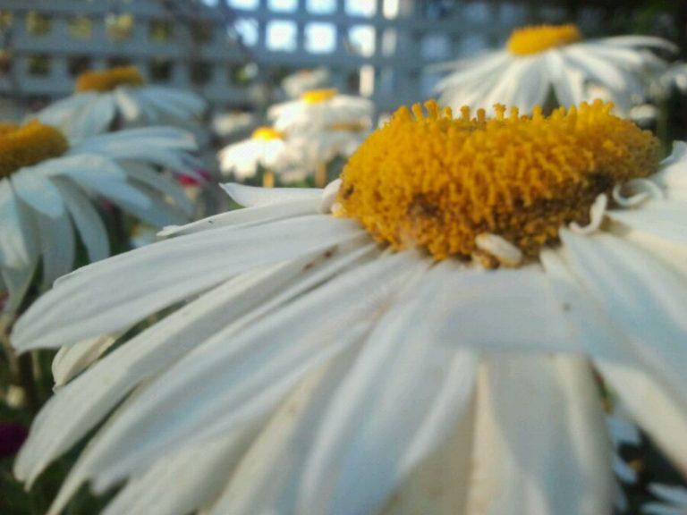 Friday night daisies