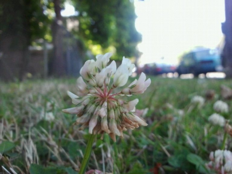 Victoria is a city of clover.