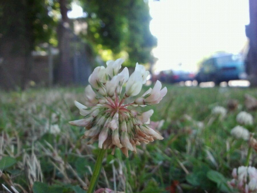 Clover amidst the grass in James Bay