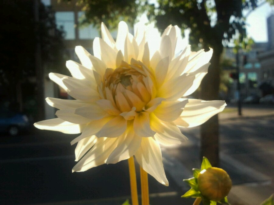 Flower with back light in downtown Victoria