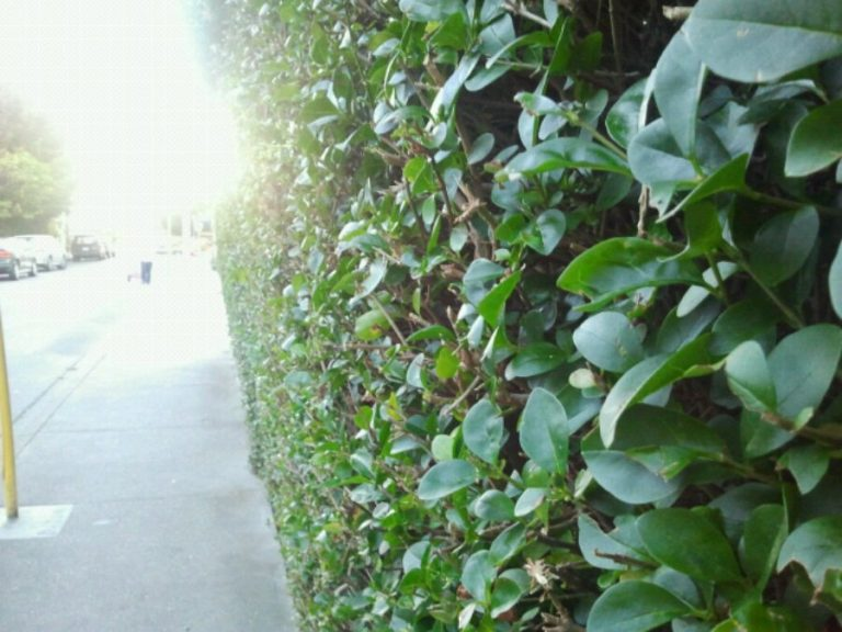 Victoria is a city of hedges