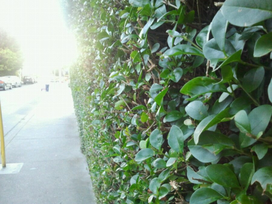 A tall hedge in James Bay on the sidewalk