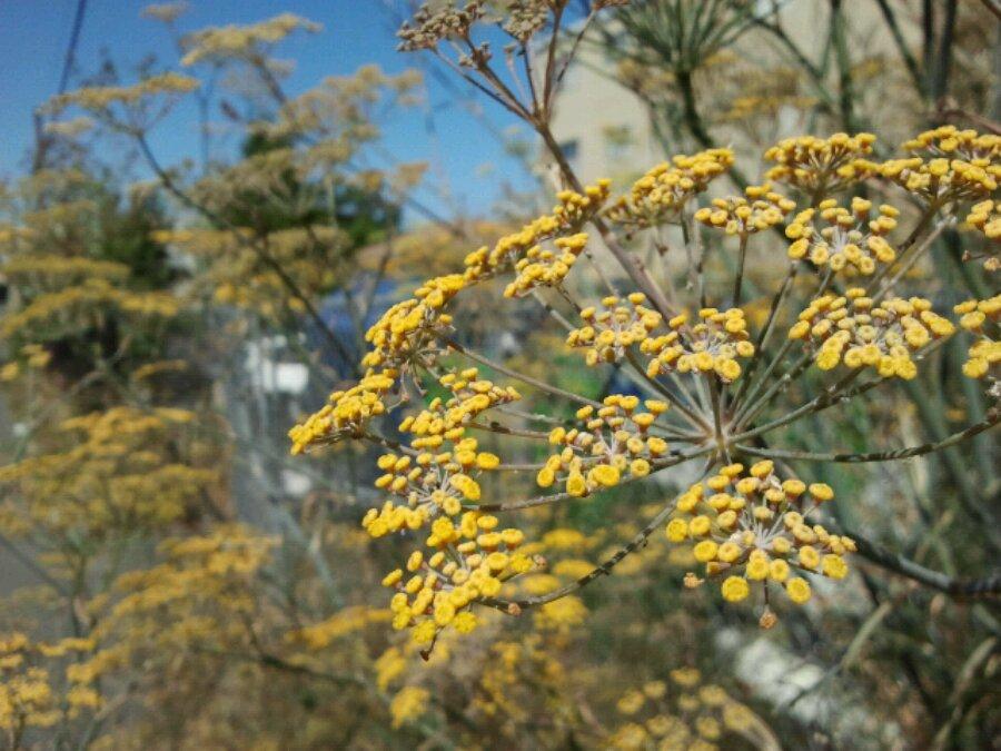 Hillside neighbourhood has some volunteer dill plants