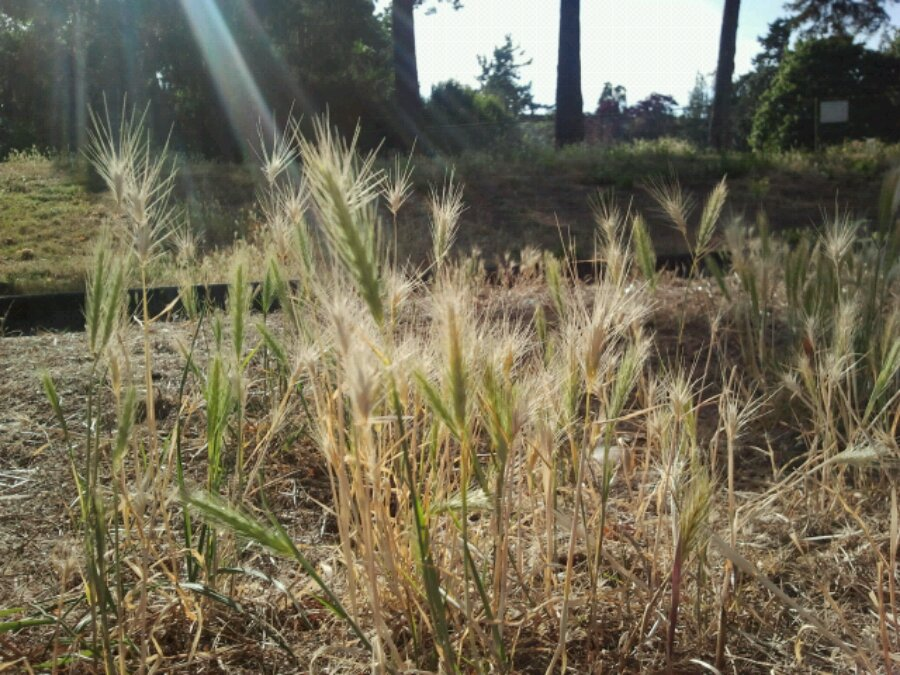 Grass and seeds on walkway in VicWest