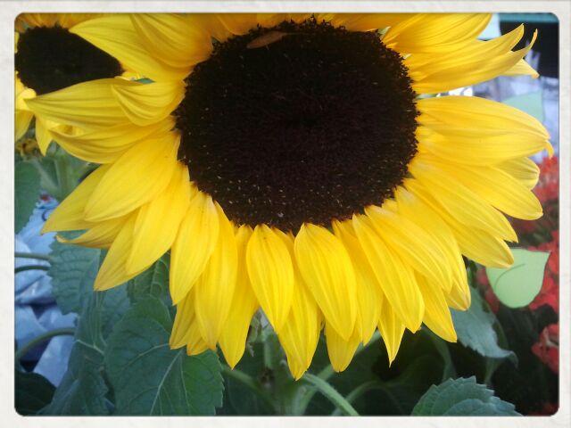 Sunflowers. In September.