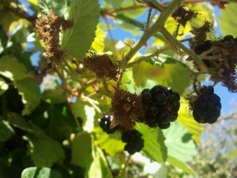 It's the end of the blackberries