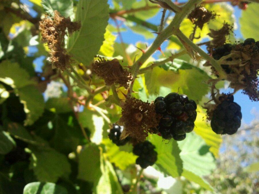 Blackberries in VicWest