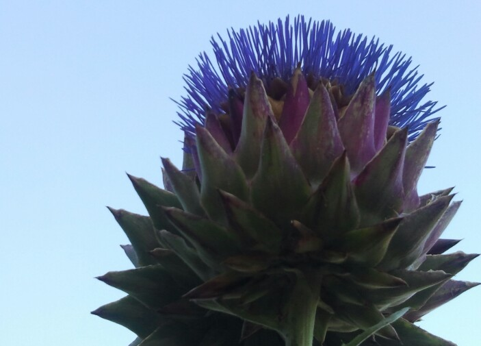 giant artichokes from VicWest