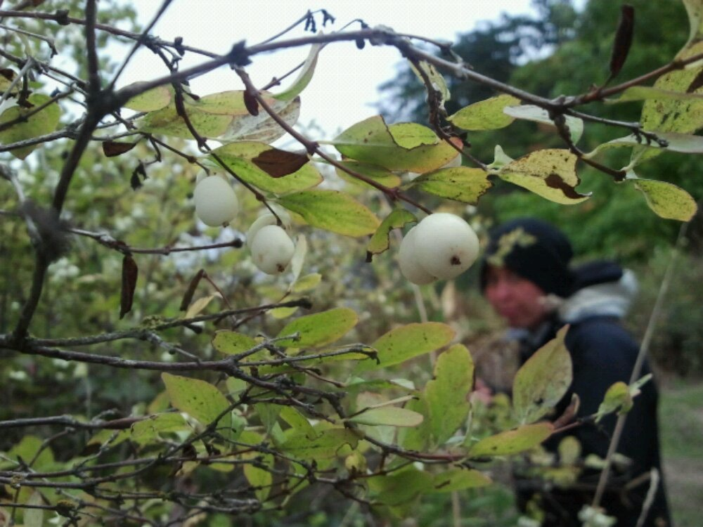white berries with wyndi in the background