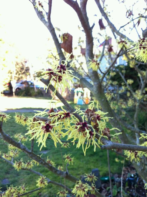 A plant with a strange flower named witch hazel