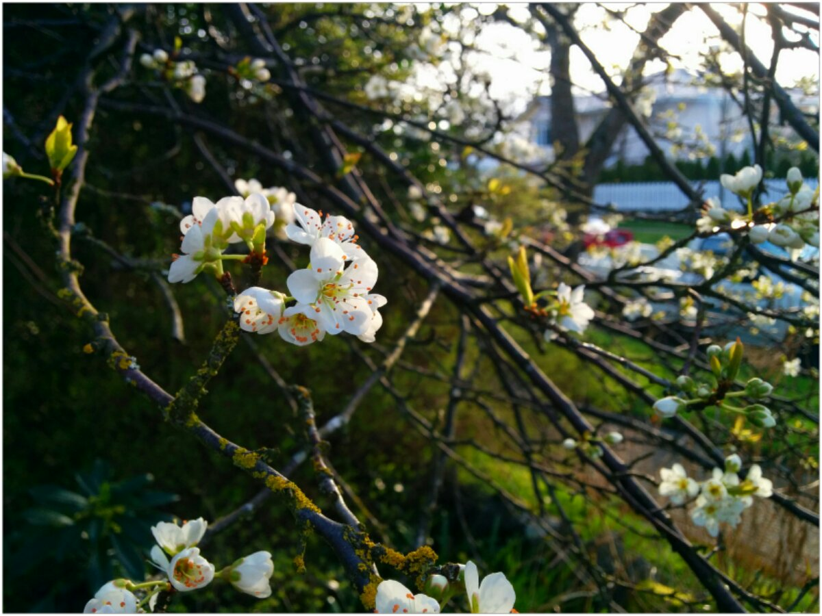 White plum blossoms in the fading light.