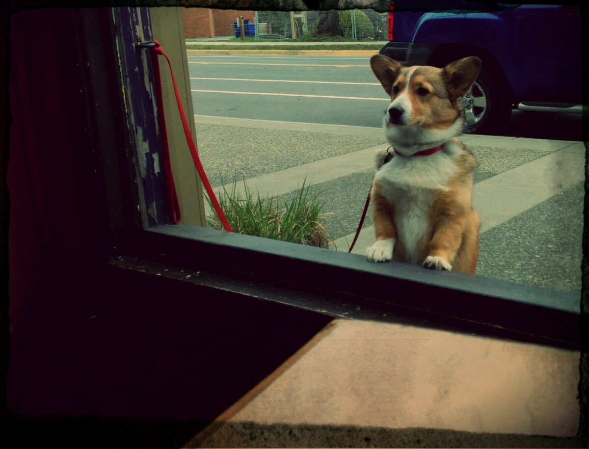 A small dog stand on their hind legs and looks in the window at a local coffee shop.