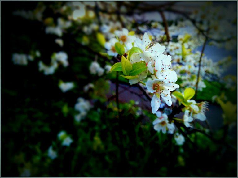 Plum blossom redux