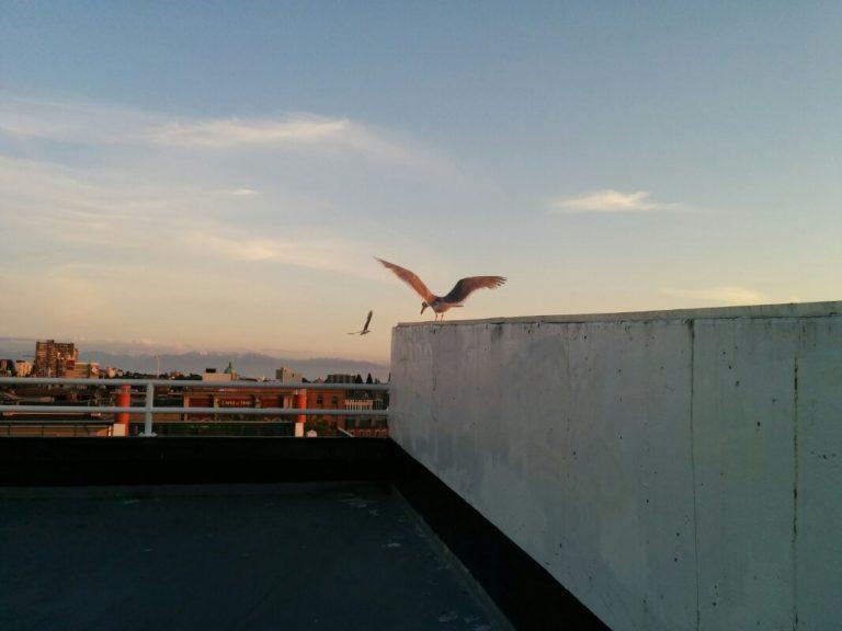Seagulls on Yates street parkade