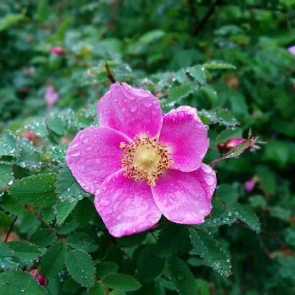 Alberta rose, west coast