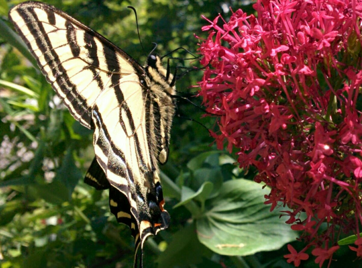 A monarch butterfly sets down on red phlox flowers