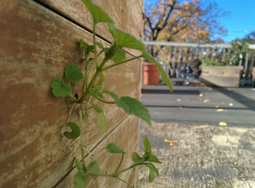 Green leaves poke through the wood wall of a pot on a balcony in Vic West
