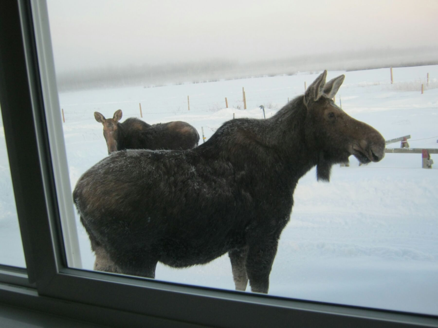 Two moose stand outside in the winter cold in Fort St. John