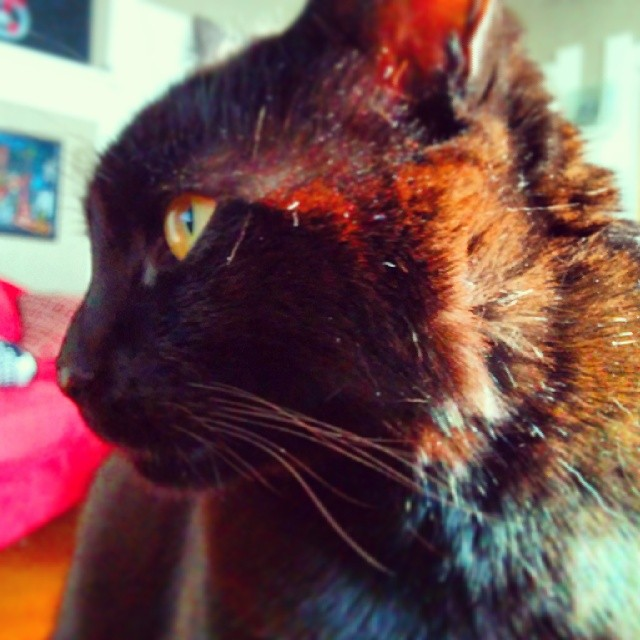 Midnight the cat has red hair in the afternoon summer sun.