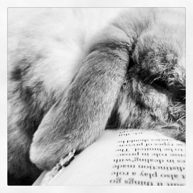 Zeus the rabbit is asleep on a book. A well chewed book