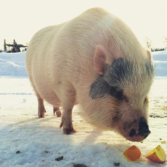 That time the neighbours' pig walked over for a visit and we fed her apples