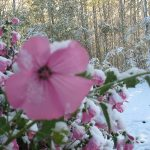 Pink flowers covered in snow in Fort St. John.